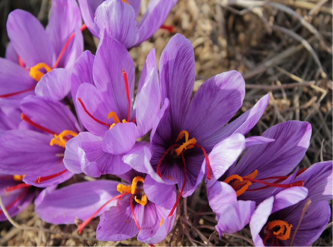 Saffron Cultivation information guide