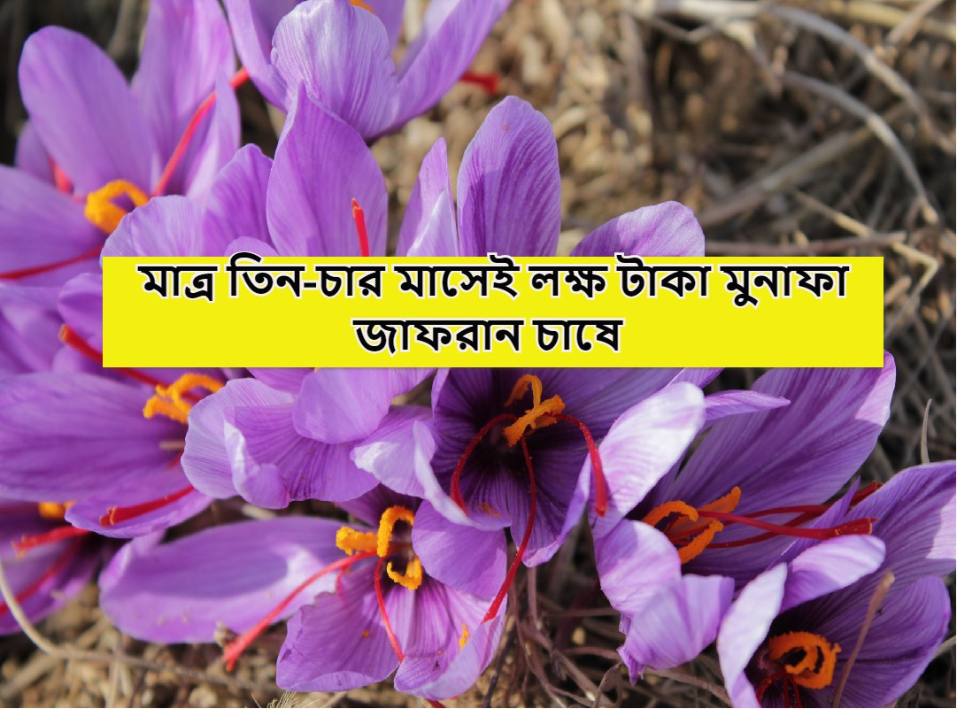 (Complete guide on Saffron Cultivation) জাফরান-এর চাষ, জমি প্রস্তুতি, সেচ, সংগ্রহ, এর ব্যবহার- জাফরান চাষের সম্পূর্ণ তথ্য