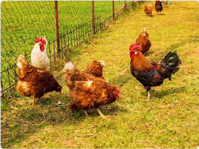 Earn more from poultry farming business