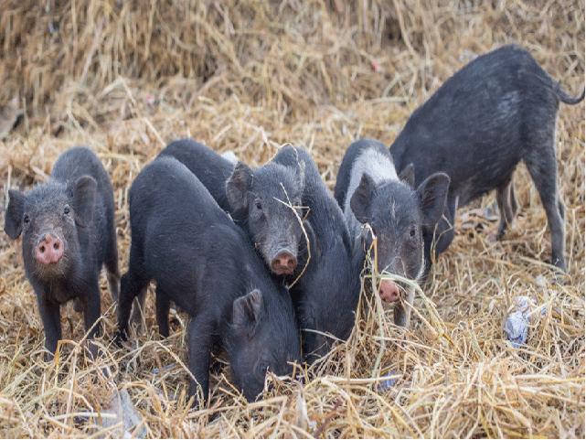 Pig rearing