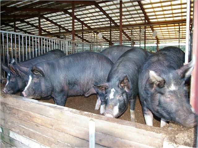 Ghungru species pig