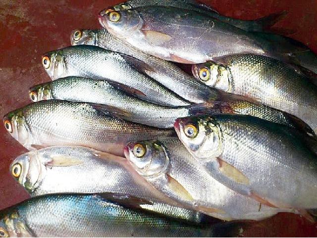 Pengba fish