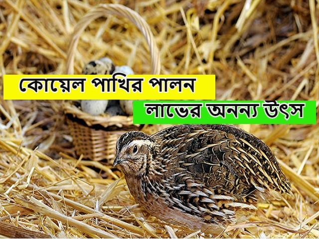 (Quail bird firming) কৃষকবন্ধুরা আয় বাড়াতে কৃষিকাজের সাথে করুন কোয়েল পাখির চাষ