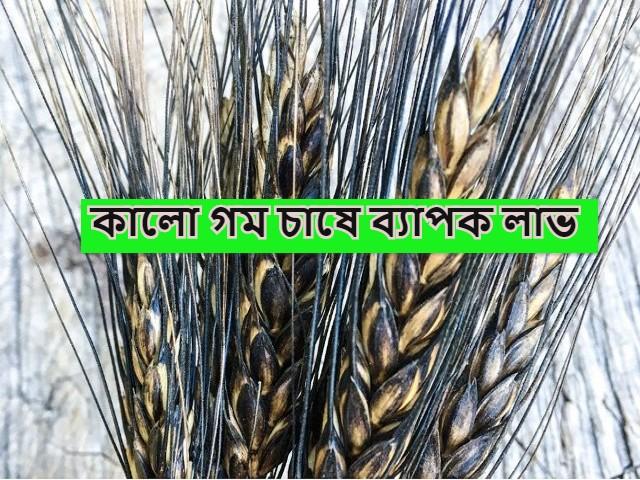 (Black wheat is being sold at double price) দ্বিগুণ দামে বিক্রি হচ্ছে কালো গম, কালো গম চাষে কৃষকদের উৎসাহ দিচ্ছেন কৃষি বিজ্ঞানীরা