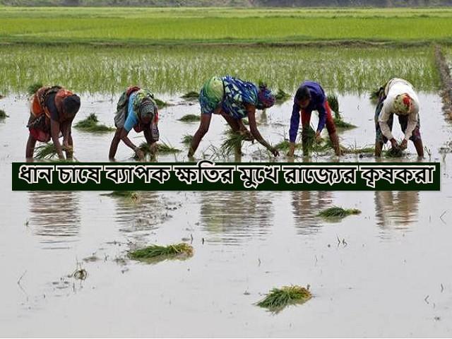 (West Bengal, facing extreme losses) পাকা ধান ঘরে তোলার আগেই তা জলের নিচে, জলমগ্ন ধানের ক্ষেত, চরম ক্ষতির সম্মুখীন বর্ধমানের ভাতার ব্লকের কৃষকরা
