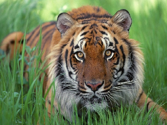 Royal Bengal Tiger - the main attraction of Sundarban
