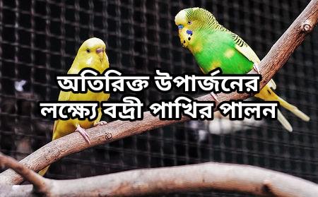 (Keeping Budgerigar birds for extra earning) কৃষিকাজের পাশাপাশি এই পদ্ধতিতে বদ্রী পাখি পালন করে আয় করুন অতিরিক্ত অর্থ