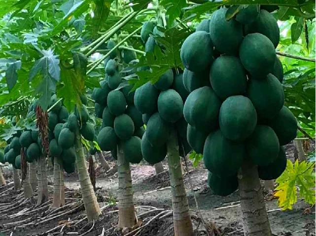 Papaya variety