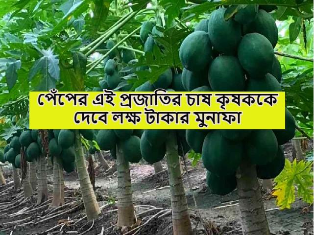 (Variety of papaya) পেঁপের কোন জাতের চাষে কৃষক লাভবান হবেন? জেনে নিন পেঁপের সবচেয়ে চাহিদাসম্পন্ন জাত সম্পর্কে তথ্য