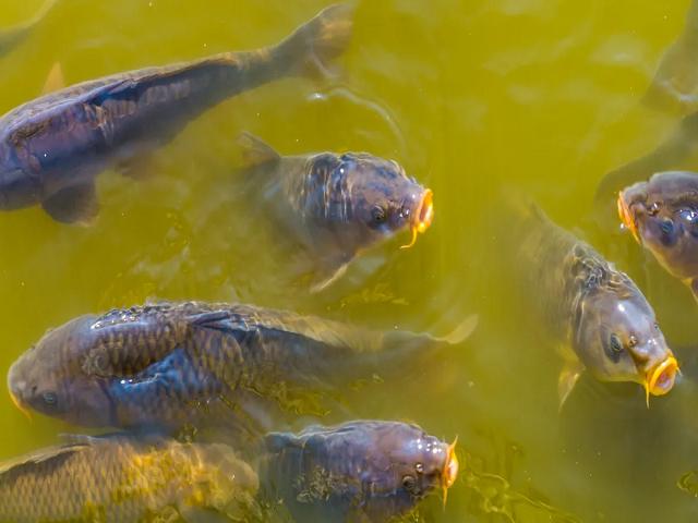 (Application of pesticides in the pond) পুকুরে কীটনাশক প্রয়োগে ব্যাহত মাছের বৃদ্ধি
