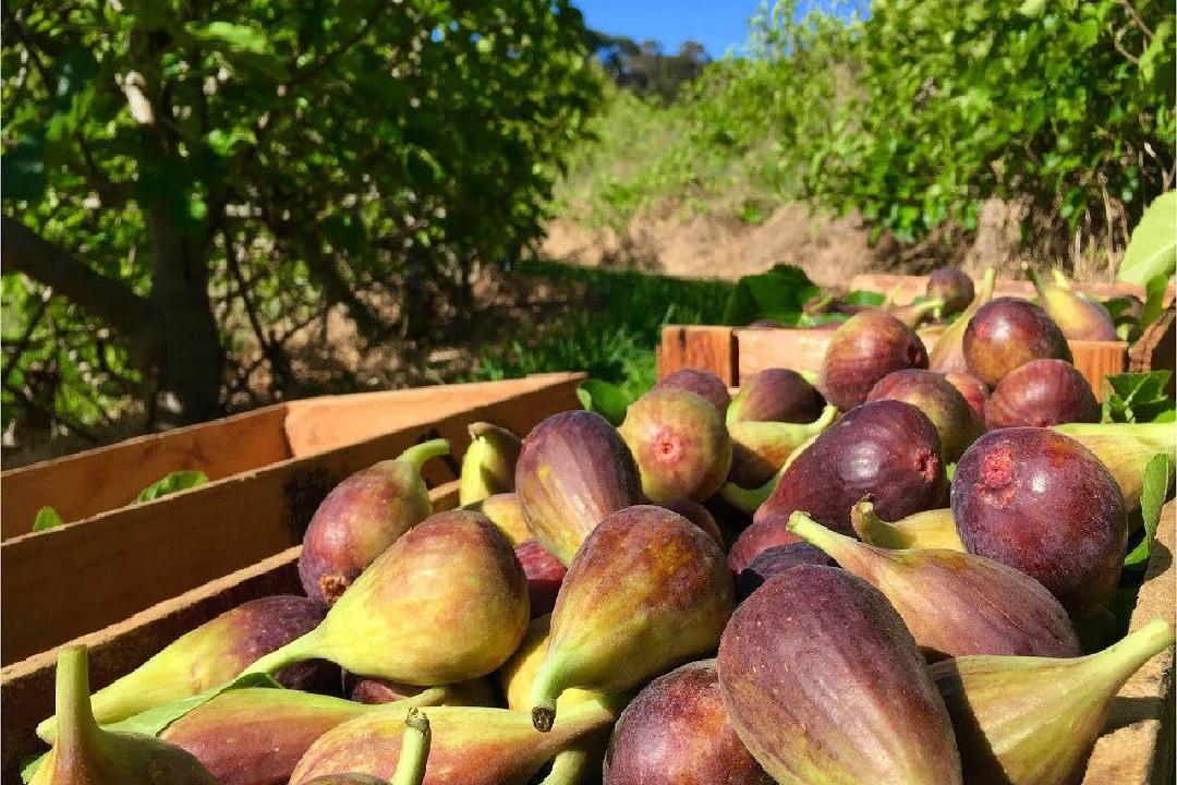 Fig/ Anjeer fruit