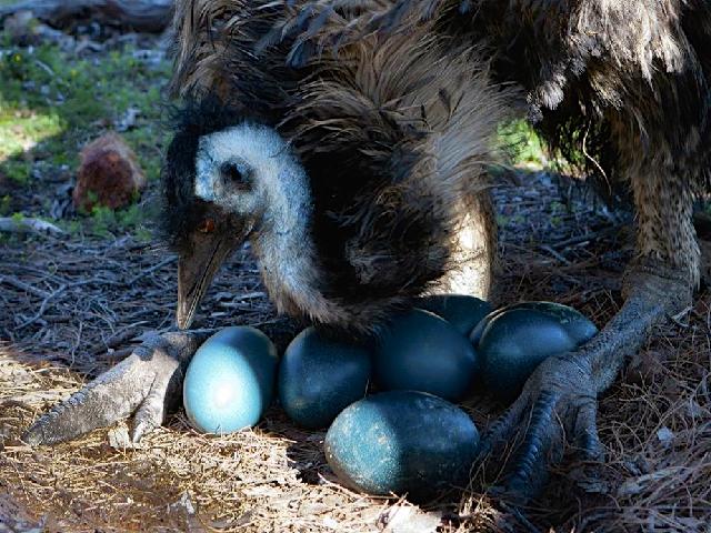 Emu bird egg