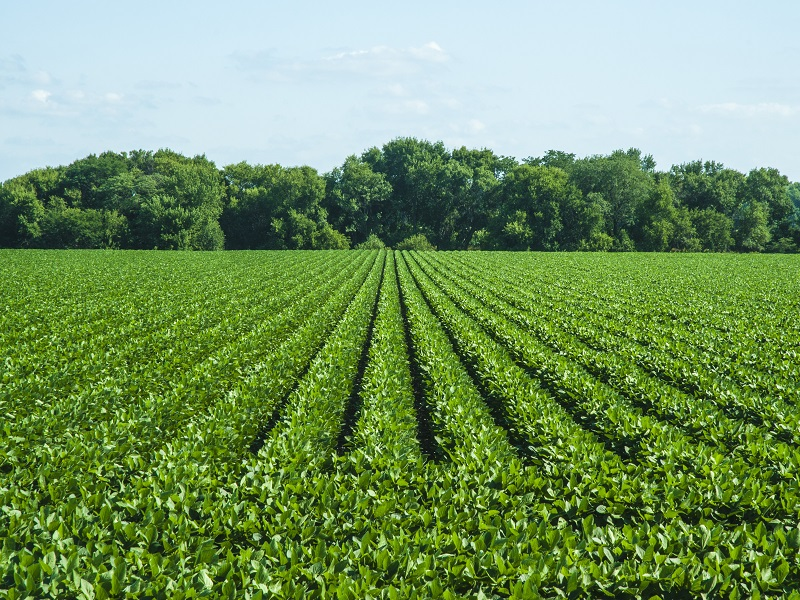 Soybean cultivation  (Image credit - Google)