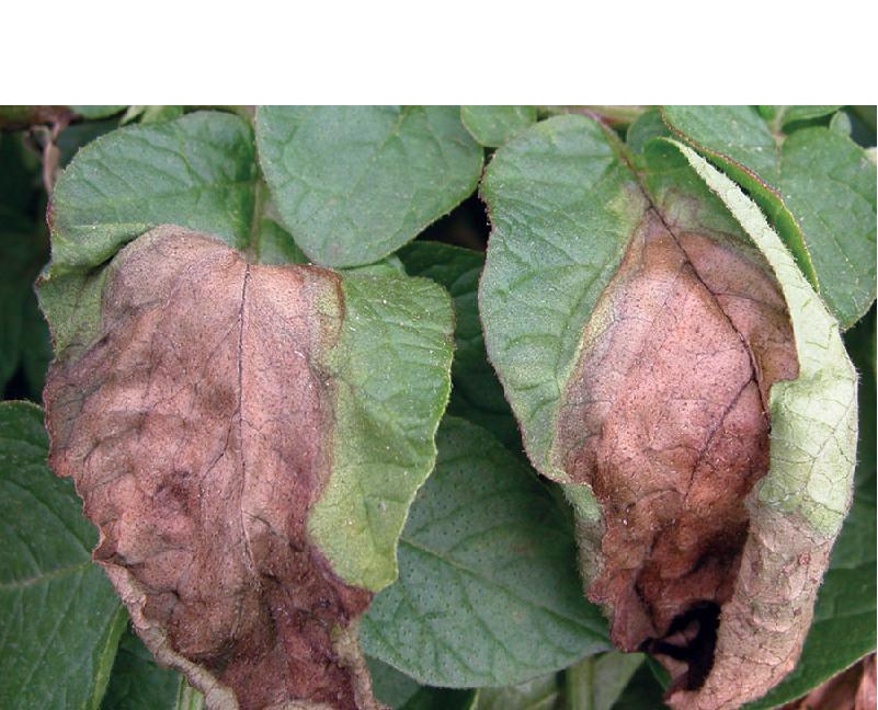 Blight Disease of potato (Image credit - Google)