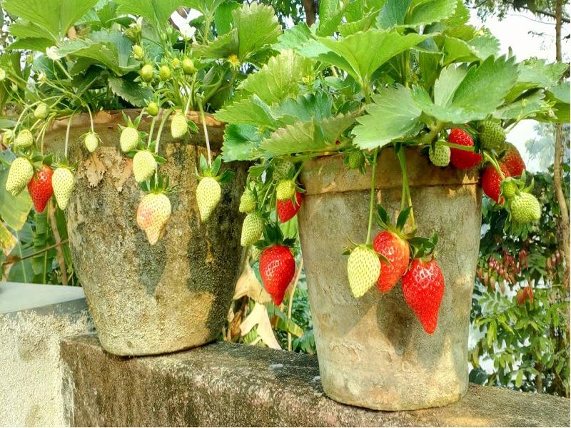 Strawberry Fruit (Image credit - Google)