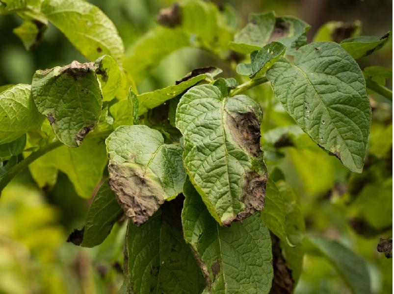 Potato bacterial disease (Image Credit - Google)