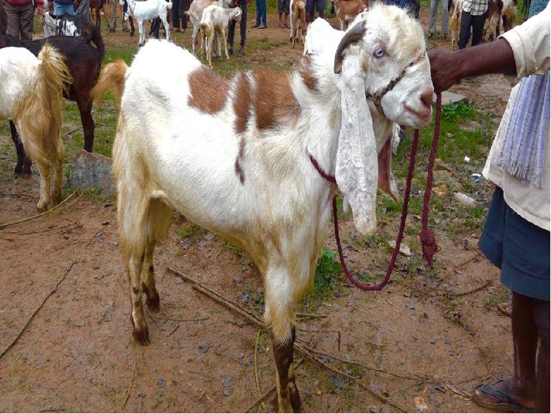 Jamunapari breed goat (Image Credit - Google)