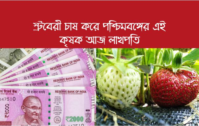 পলিমাল্চিং ব্যবহারে স্ট্রবেরী চাষ করে পশ্চিমবঙ্গের আবুল বাসার নামের এই কৃষক আয় করছেন লক্ষাধিক (WB Farmer Get Success In Strawberry Farming)