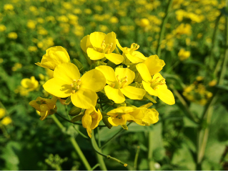 Mustard Cultivation (Image Credit - Google)