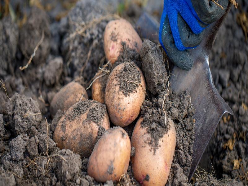 Potato Farming & Seed Preservation (Image Credit - Google)