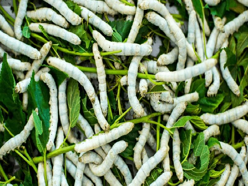 Silk farming (Image Credit - Google)