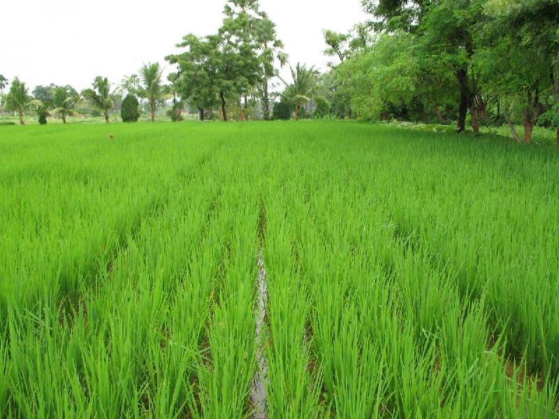 Boro Paddy (Image Credit - Google)
