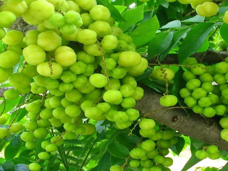 Indian Gooseberry (Image Credit - Google)