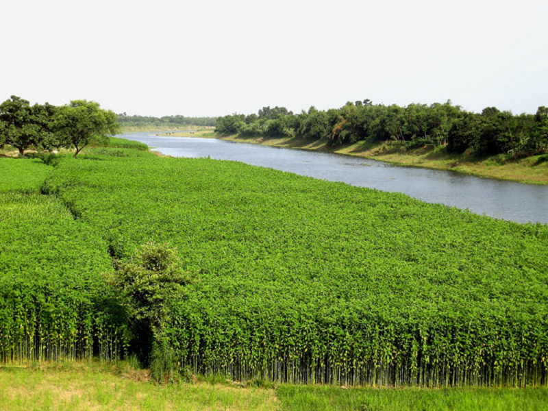 Jute farming (Image Credit - Google)