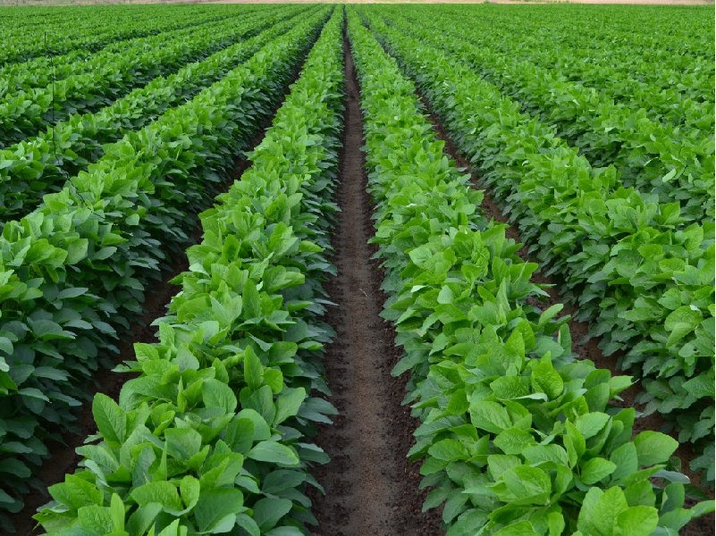 Pulse crop (Image Credit - Google)
