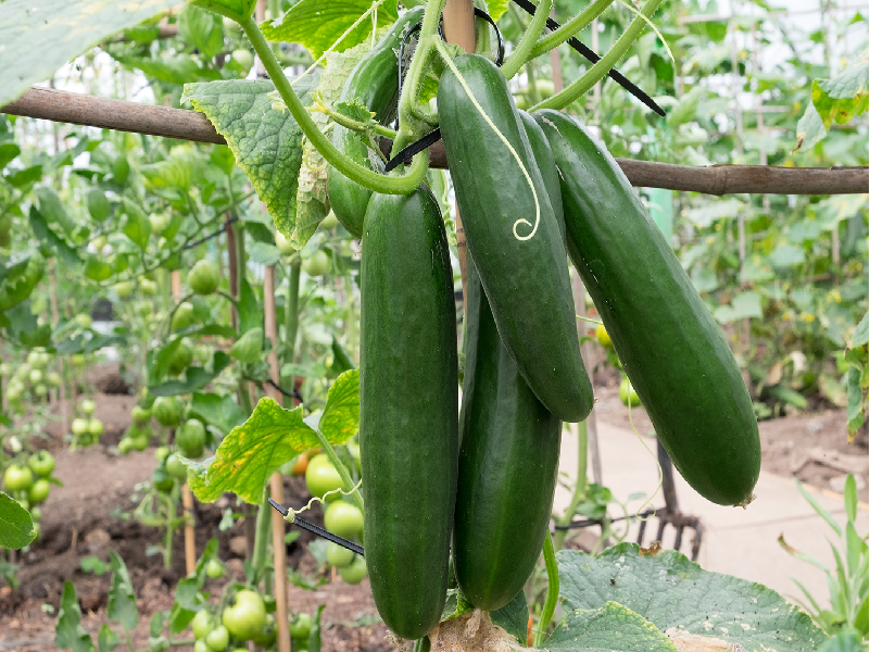 Cucumber Field (Image credit - Google)