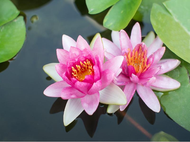 Lotus usage (Image credit - Google)