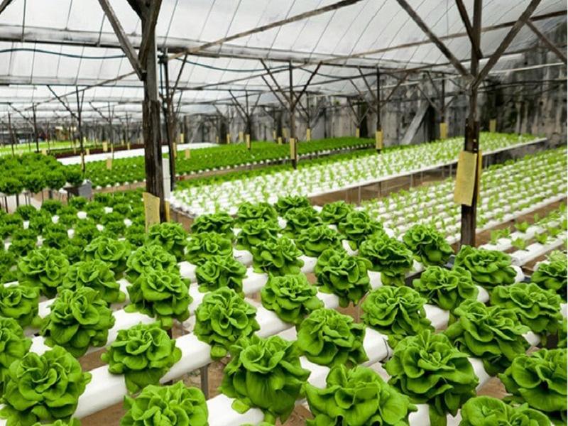 Hydroponic Farming (Image Credit - Google)
