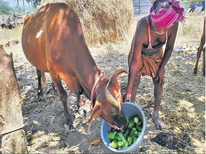 Cattle treatment
