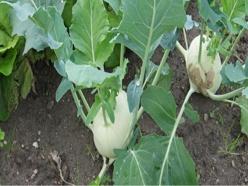Oleracea Cultivation (Image Credit - Google)