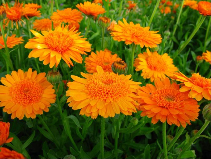 Marigold cultivation (Image Credit - Google)