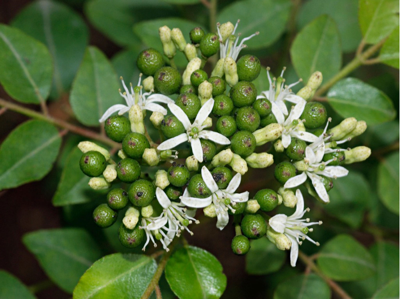 Curry Leaves (Image Credit - Google)