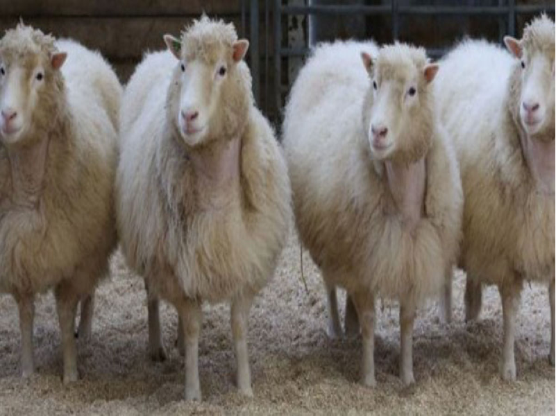 Biotechnology - high yielding animals (Image Credit - Google)