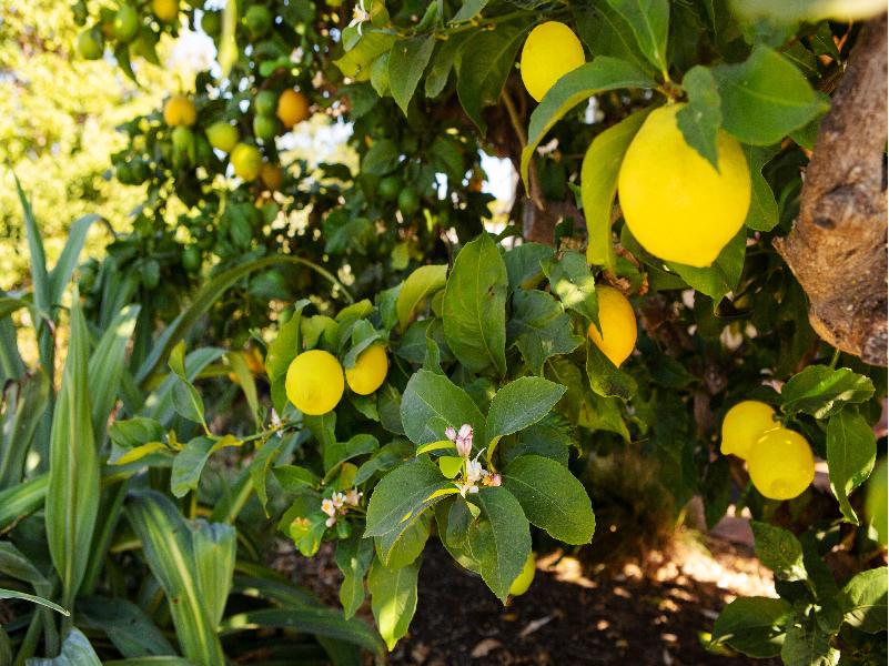 Lemon Tree (Image Credit - Google)