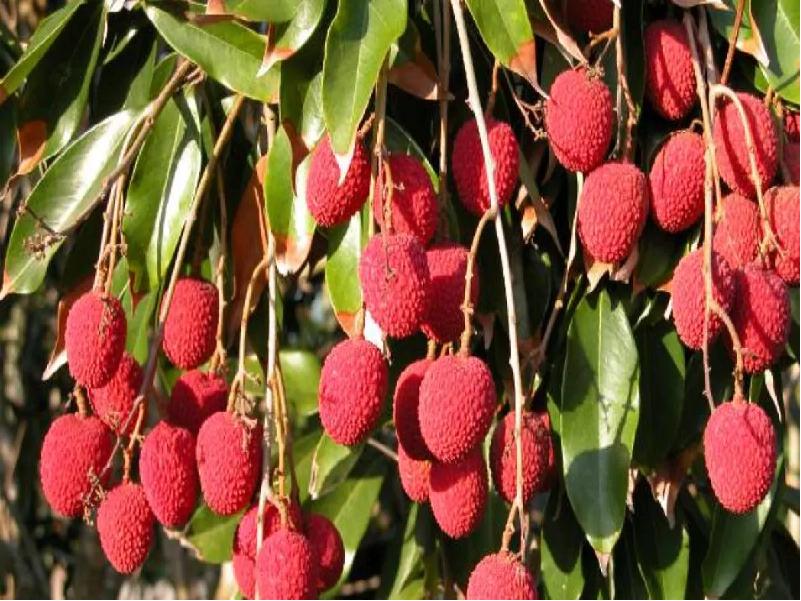litchi cultivation (Image Credit - Google)
