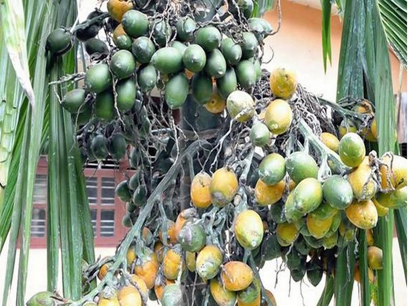 Betel Nut (Image Credit - Google)
