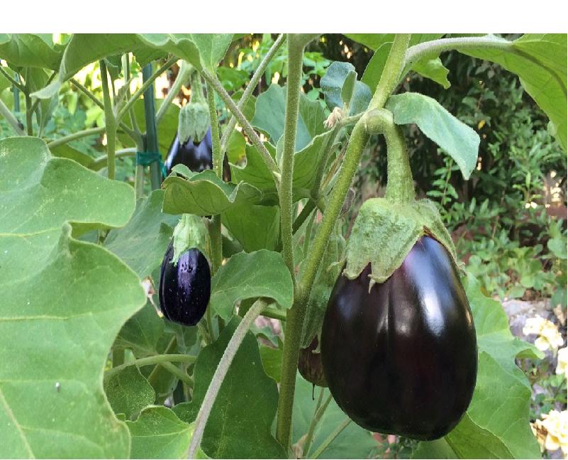 Eggplant Cultivation (Image Credit - Google)