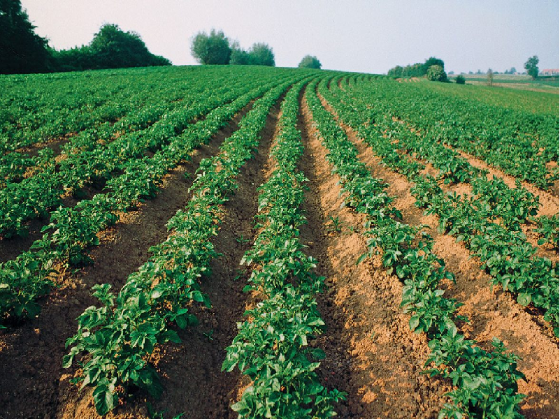 Potato Cultivation (Image Credit - Google)