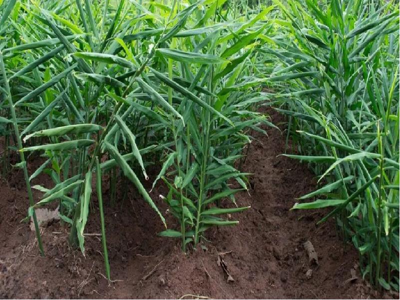 Ginger Cultivation (Image Credit - Google)
