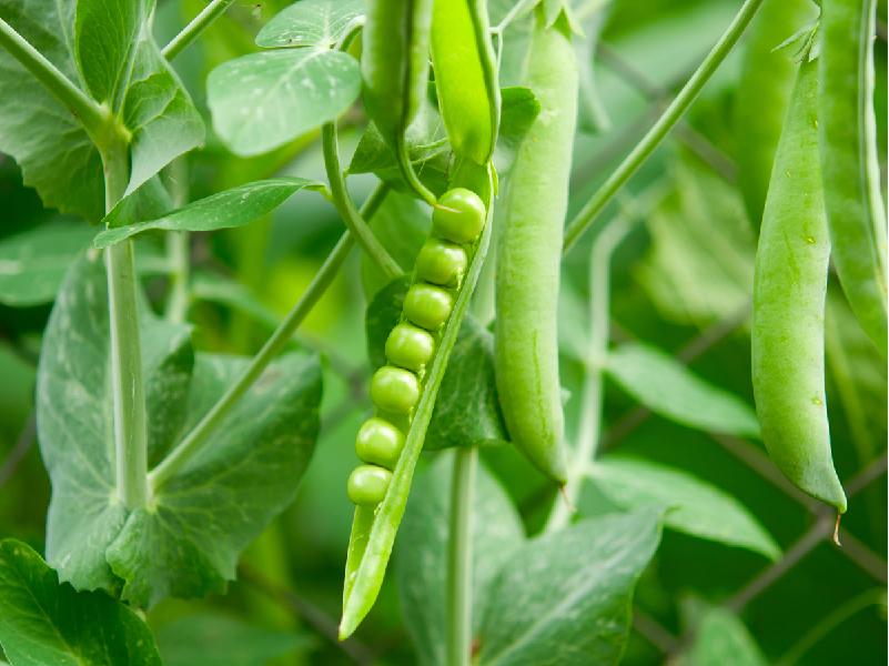 Pea's Field (Image Credit - Google)