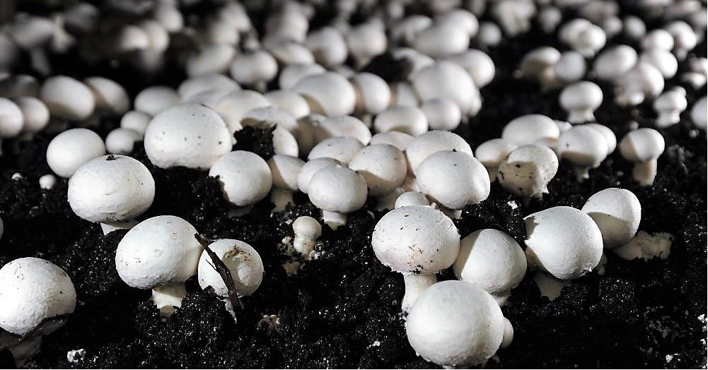 Mushroom (Image Credit - Google)