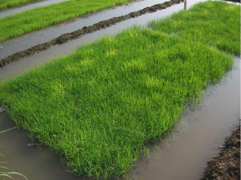 Boro paddy seedbed (Image Credit - Google)