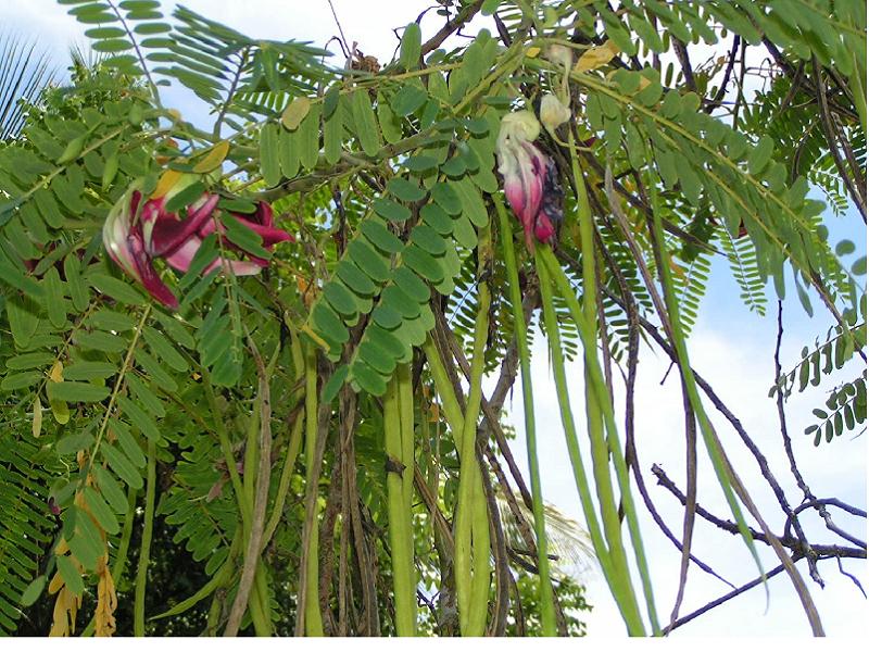 Sesbania Grandiflora (Image Credit - Google)