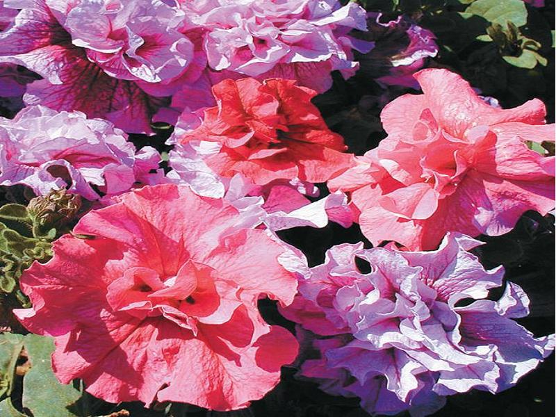 Petunia Cultivation (Image Credit - Google)