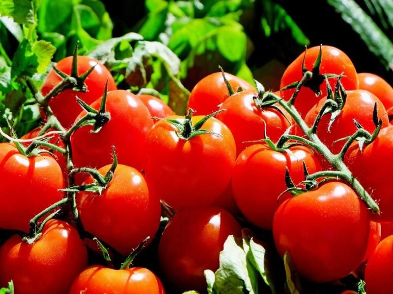 Tomato Cultivation (Image Credit - Google)