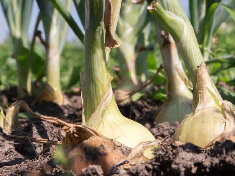 সঠিক নিয়মে বারি পেঁয়াজের বীজ থেকে চারা উৎপাদন ও চাষের পদ্ধতি (Cultivation Of Seedlings From Onion Seeds)